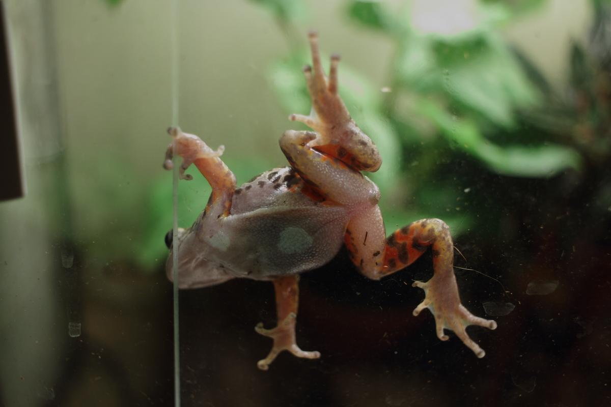 Phlyctimantis maculatus